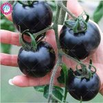 variété tomate TOP 10 image 3 produit
