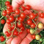 variété tomate TOP 5 image 3 produit