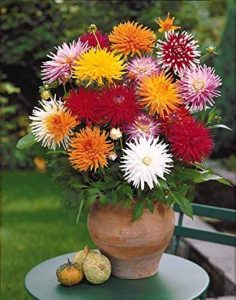Willemse France 10 Dahlias cactus en mélange de la marque Willemse France image 0 produit