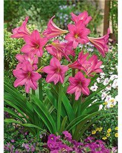 Willemse France 3 Amaryllis de jardin 'Douceur sucrée' de la marque Willemse France image 0 produit