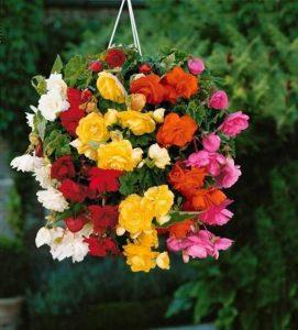 Willemse France 8 Bégonias retombants à grosses fleurs en mélange EXTRA de la marque Willemse France image 0 produit
