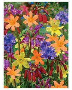 Willemse France Mélange fleuri de 25 bulbes de la marque Willemse France image 0 produit
