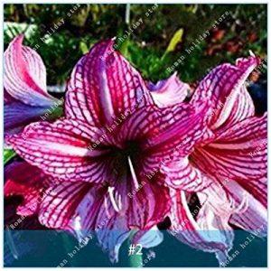 ZLKING Amaryllis Ampoules Hippeastrum Fleur Non Amaryllis Graines Terrasse Jardin Patio Toit Jardin Barbade Lily Bulbes 2 de la marque SVI image 0 produit
