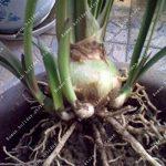 ZLKING Amaryllis Ampoules Hippeastrum Fleur Non Amaryllis Graines Terrasse Jardin Patio Toit Jardin Barbade Lily Bulbes 2 de la marque SVI image 3 produit